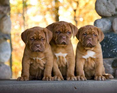 Trio Of Pups Bordeaux Dog Cute Puppies Puppies
