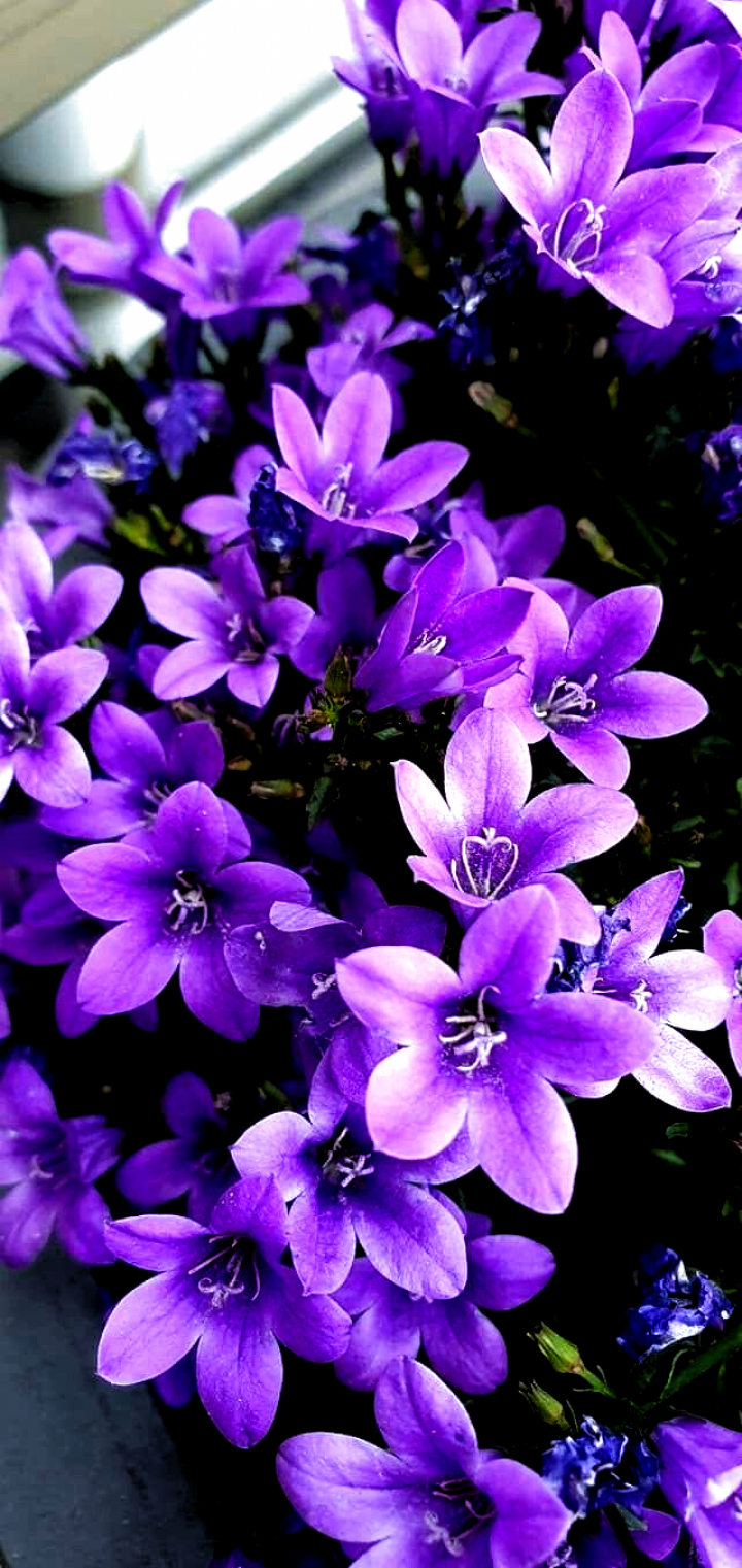 Learn About Different Dark Purple Flowers Wallpaper Aesthetic Flowers