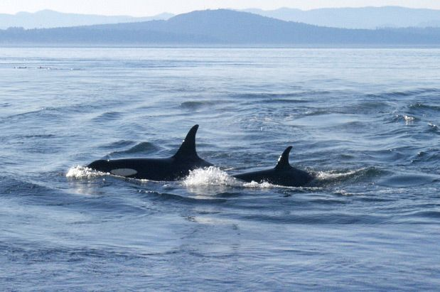 Orcas swimming near San Juan Islands. Click through to read about the threats they face in Puget Sound waters