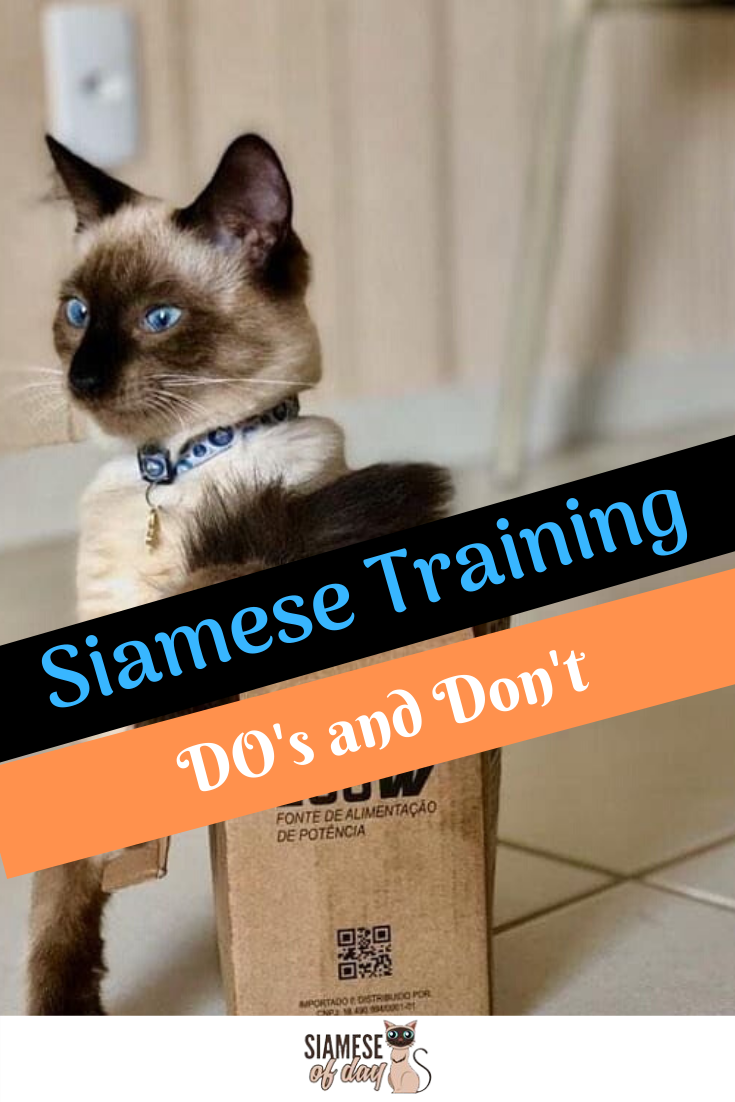 How to Train a Siamese Cat? & it's Do's and Don'ts