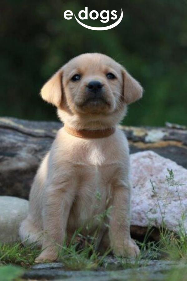 Niedlicher Labrador Welpe In 2020 Hunde Labrador Labrador Hund