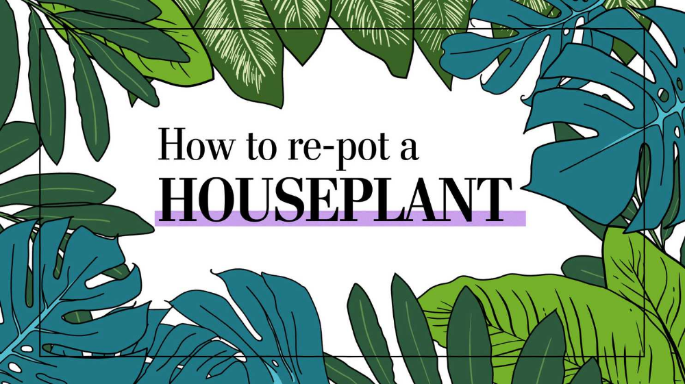 Washington Post gardening columnist Adrian Higgins explains when, why and how to re-pot a houseplant.