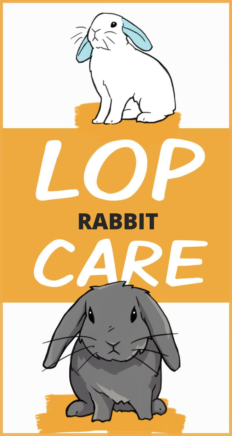 How To Care For Your Lop Eared Rabbit Pet Rabbit Care Bunny Care Rabbit Care