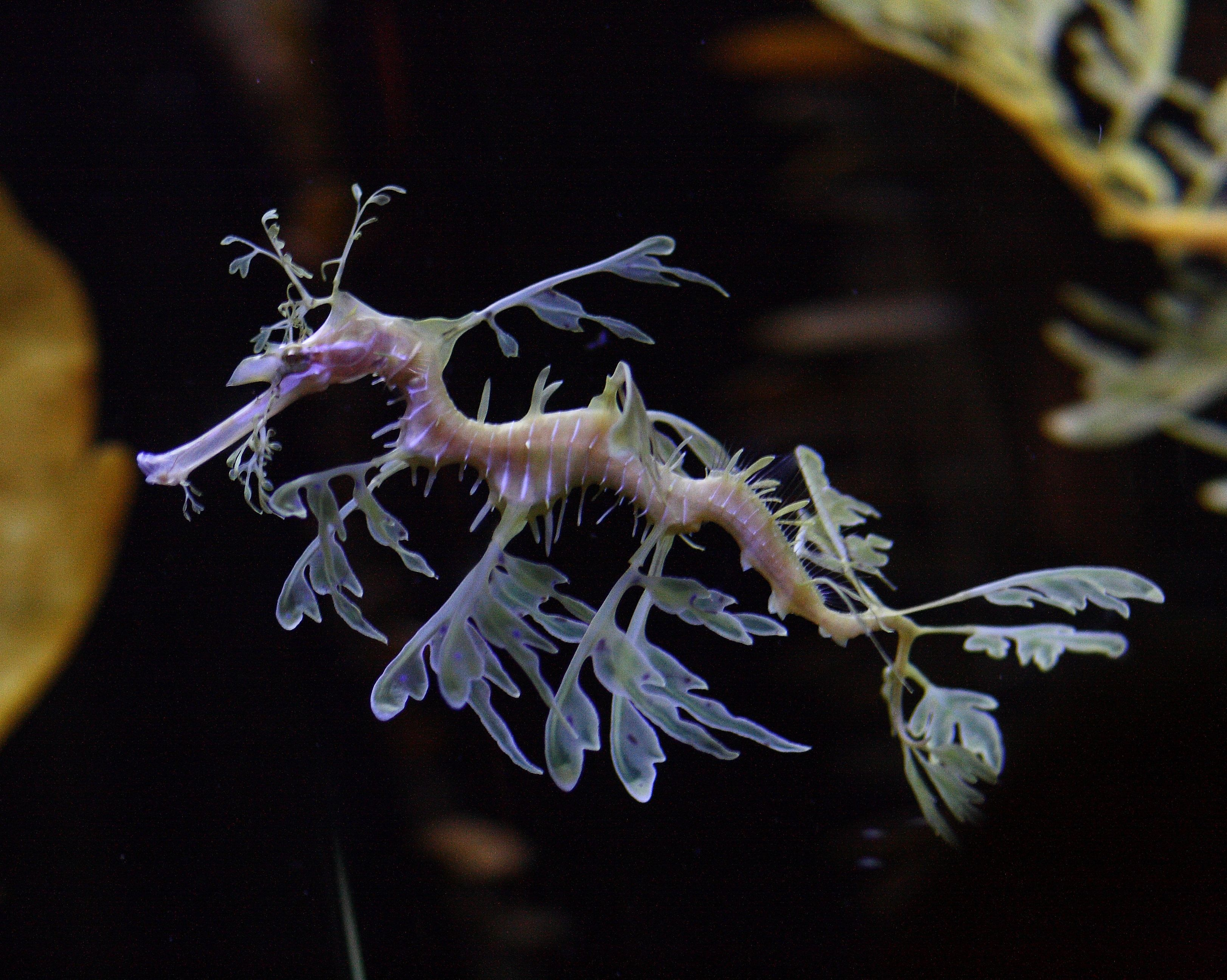 Perfect sea dragon picture image gallery on animal picture perfect sea dragon picture image gallery on animal picture society voltagebd Choice Image