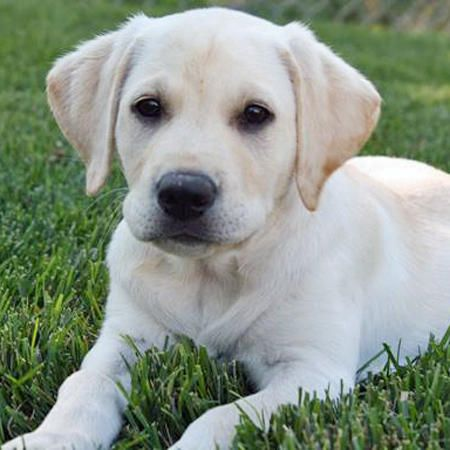 Boo The Labrador Retriever What A Handsome Guy Daily Puppy And