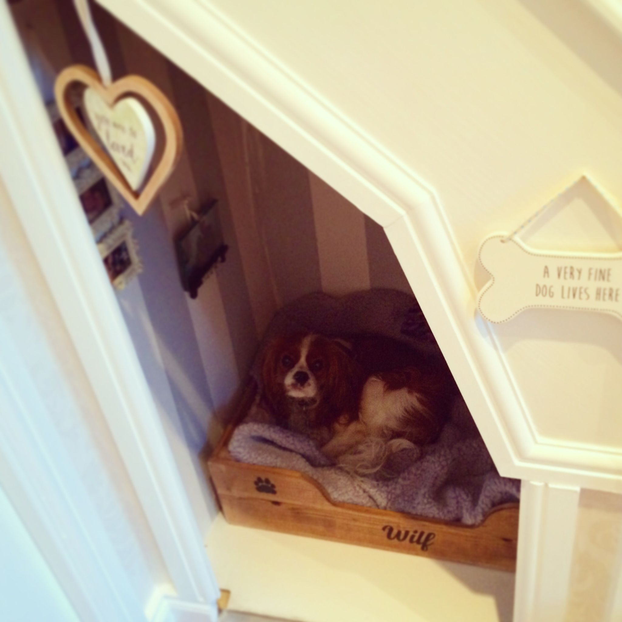Under Stairs Dog Room Instagram Wilf The Cavalier Dog Rooms