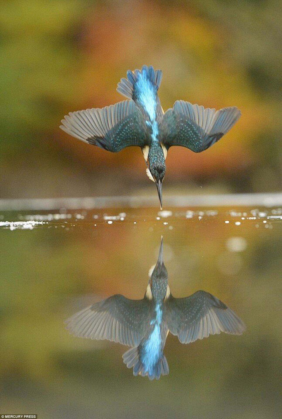 O fotógrafo acredita que sua Kingfisher perfeito era uma fêmea adulta em torno de dois ou ...