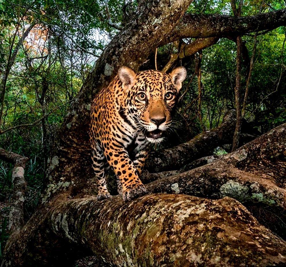 A Ferocious Jaguar Up A Tree In The Amazon Rainforest Big Cat Family Pantanal Wild Photography