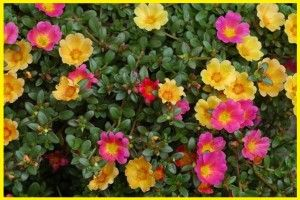 Tanaman Hias Gantung Tahan Panas Menanam Merawat Tanaman Hias Gantung Tanaman Hias Bunga Jenis Tanaman Hias Merambat Tanama Menanam Bunga Tanaman Pot Bunga
