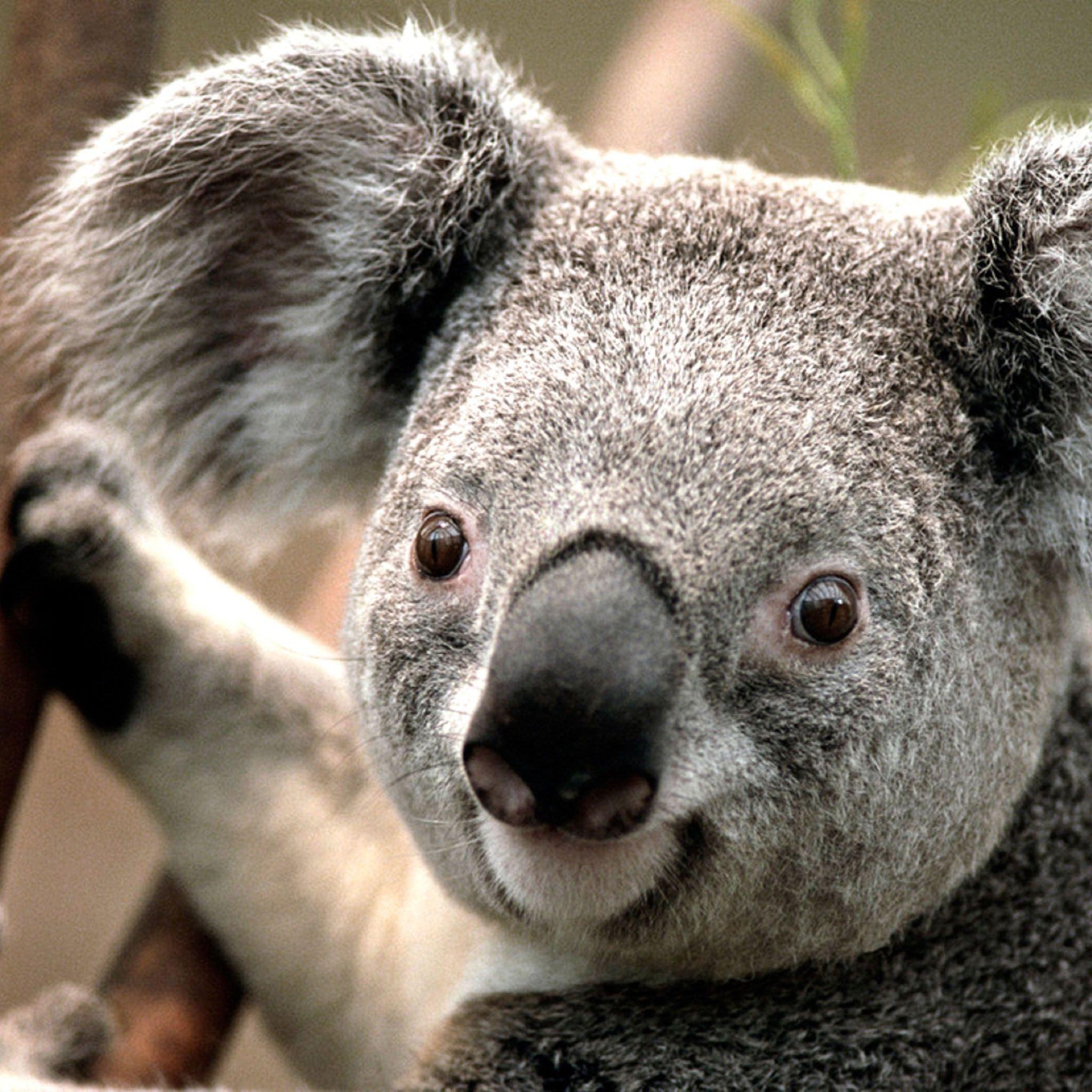 Amazing Koala Bear Chubby Adorable Dog - 00ad5ed7a84fe92c16e60837a7570cbd  Photograph_512569  .jpg