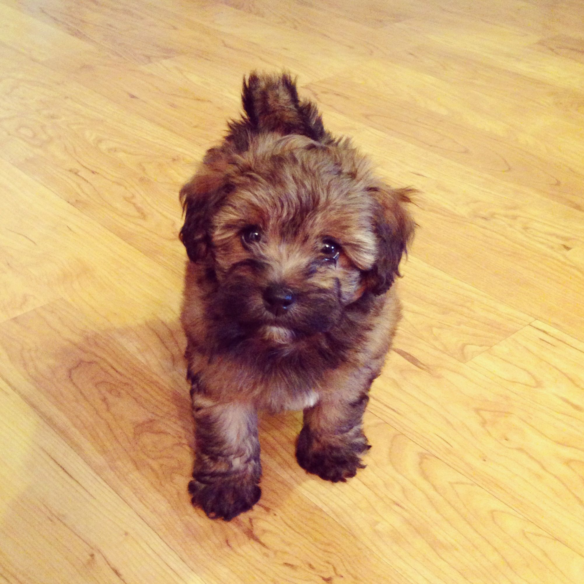 It Looks Like An Ewok Havanese Poodle Mix Poovanese Havapoo Havanoodle Poodle Mix Havanese Havanese Puppies