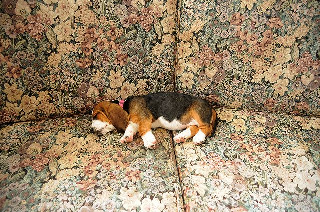 Scout Beagle Beagle Puppy Cute Beagles