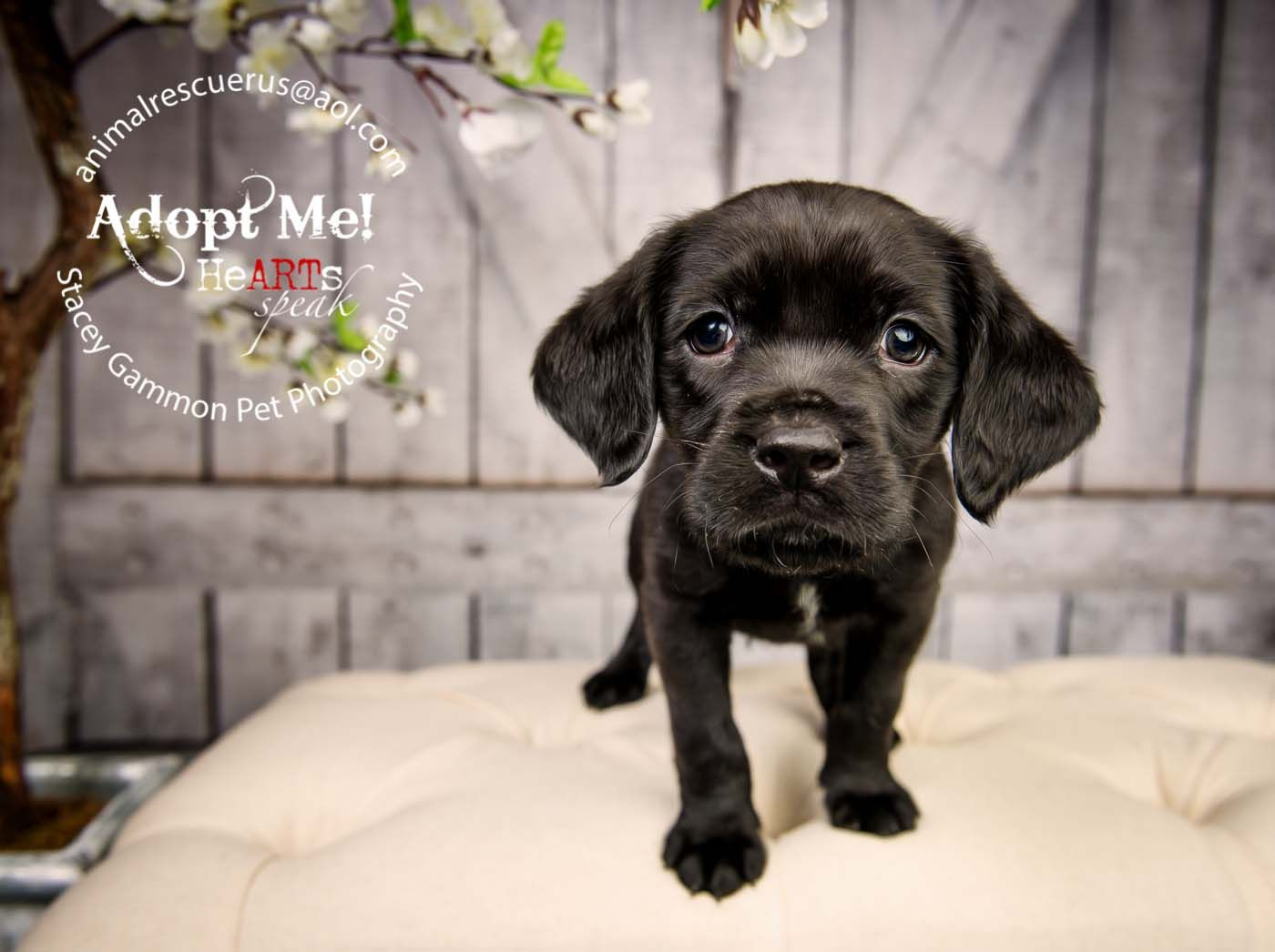 Adopt pugsley from animal rescue r us in lodi new jersey