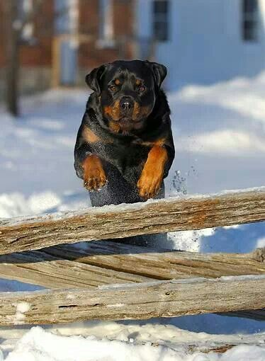 Rottweiler I Can Make It To The Fence In 2 8 Seconds Can You