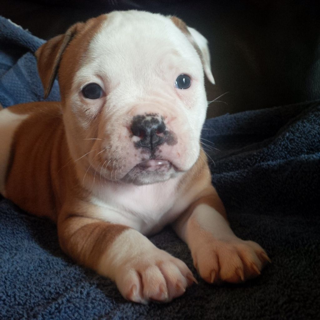 Johnson American Bulldog Puppy From Your Friends At Phoenix Dog In