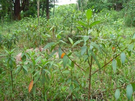 planta invasora na cidade de São Paulo -  Quaresmeira ( Tibouchina granulosa )