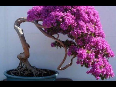 how to bougainvillea bonsai wiring mammal bonsai bonsai tree rh pinterest com Bougainvillea Plant Pruning Bougainvillea Bonsai