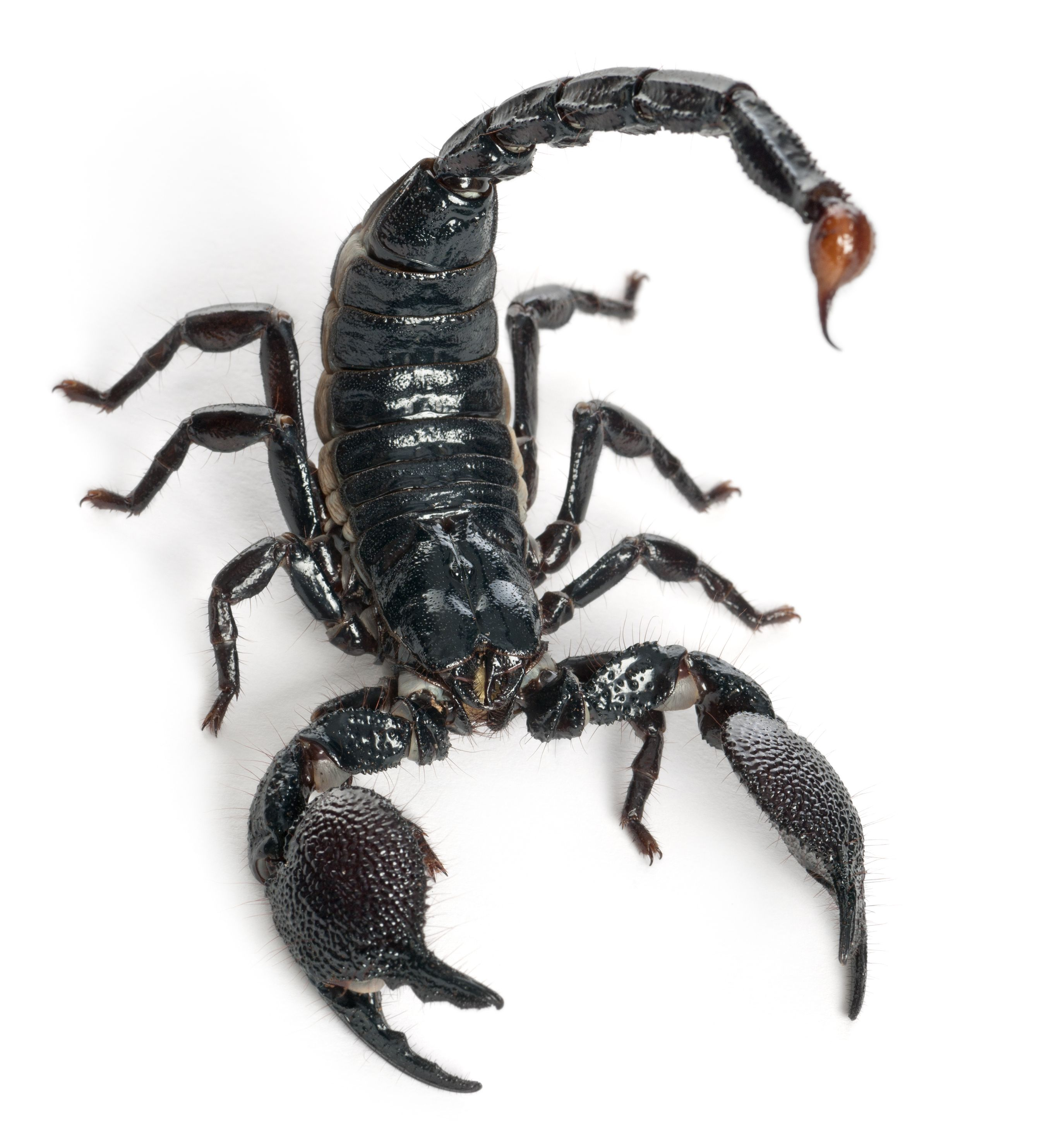 dreamstime_xl_21062237.jpg (2697×2965) | e | Pinterest | Scorpion ...
