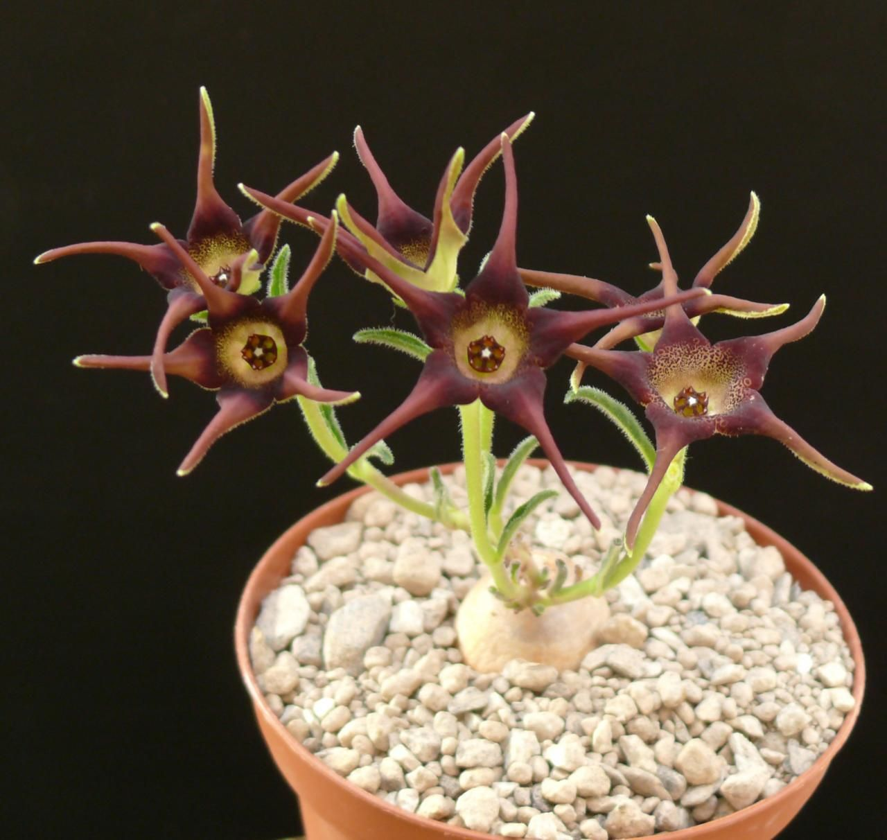 Details about brachystelma foetidum spectacular indoor Weird plants to grow indoors