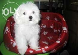 Maltese Puppy Teacup Size Champion Line 3 5 Mos Old Animal Lover Maltese Puppy