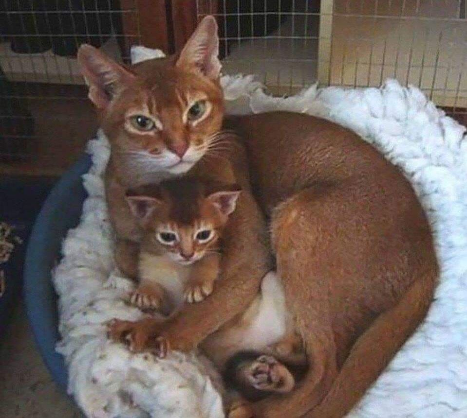 Pin By Barbara Clanton On Cats Big And Small Cute Cats Abyssinian Cats Cute Animals