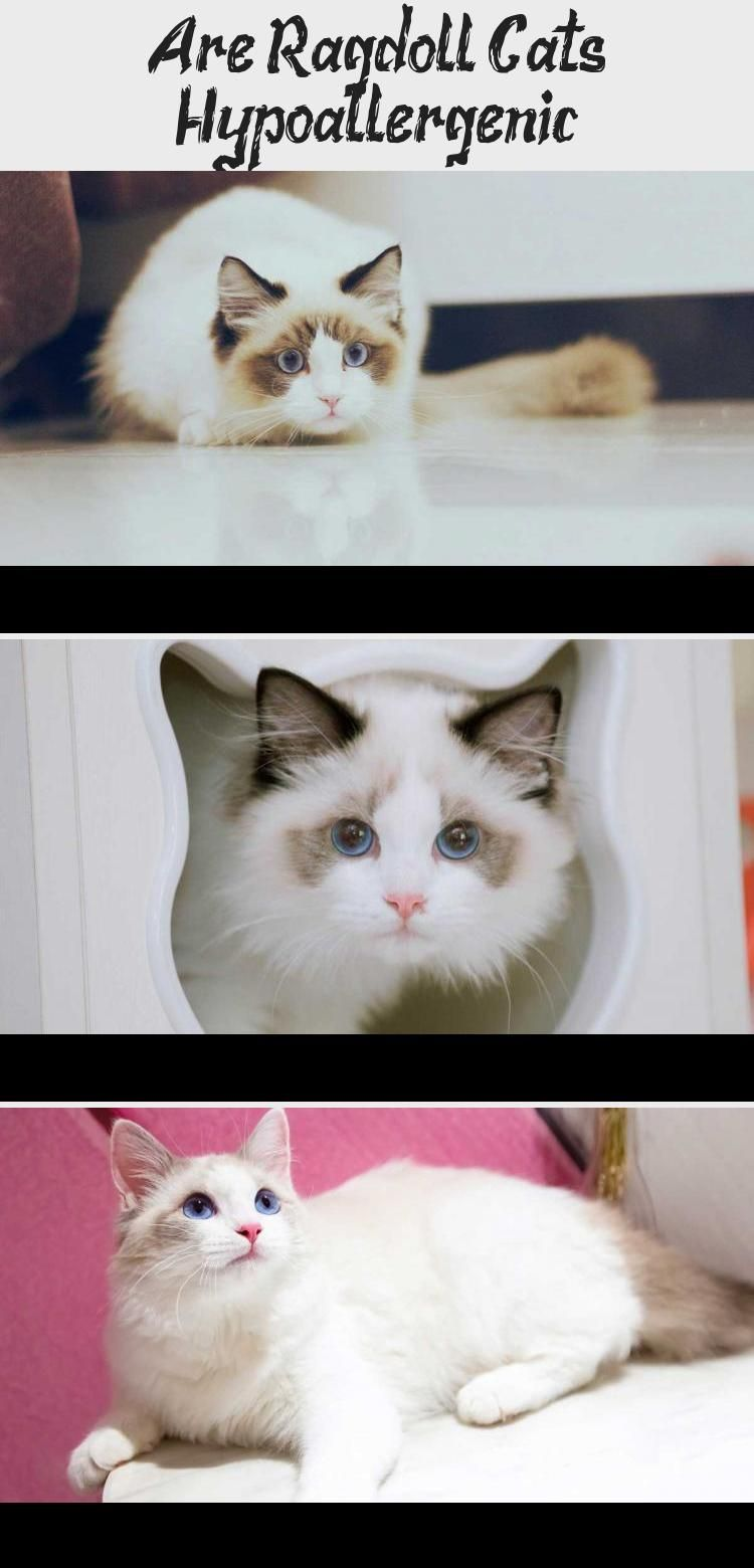 Are Ragdoll Cats Hypoallergenic Cats Is A Ragdoll Cat Hypoallergenic Do They Cause Cat Allergies Find O In 2020 Ragdoll Cat Cat Allergies Hypoallergenic Cats