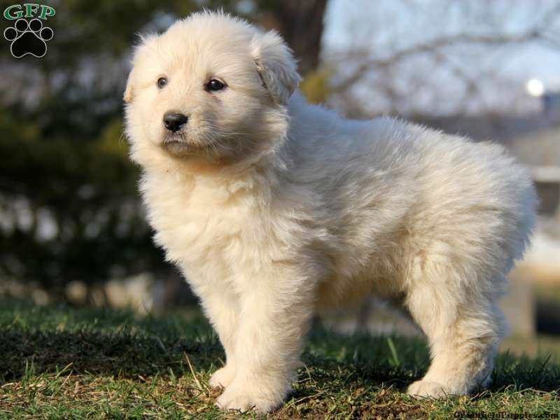 Great Pyrenees Chow Mix Cute Dogs Great Pyrenees Cute Animals