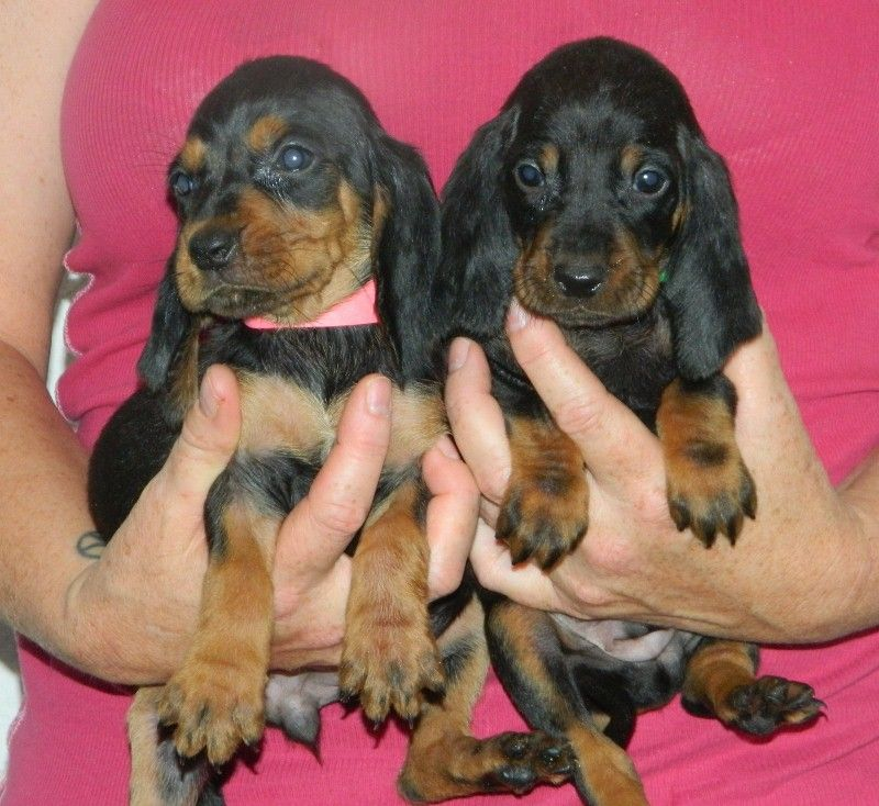 We Have Black And Tan Coonhound Puppies For Sale Akc Ukc