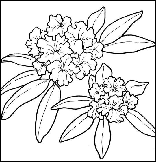 Rhododendron Rye S State Flower Flower Coloring Pages Flower