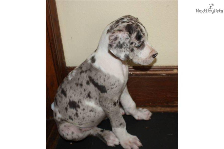 Akc Harlequin Great Dane Puppy Harlequin Great Dane Puppy Great Dane Great Dane Funny