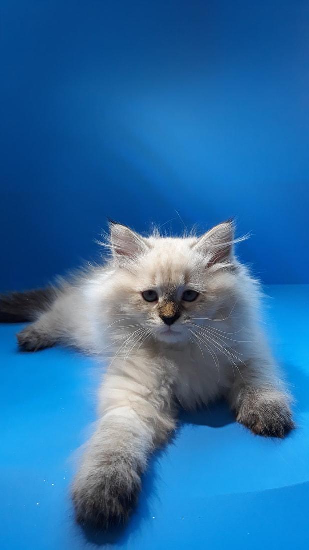 Pin By Shana Larose On Cats In 2020 Siberian Kittens Cattery Kittens