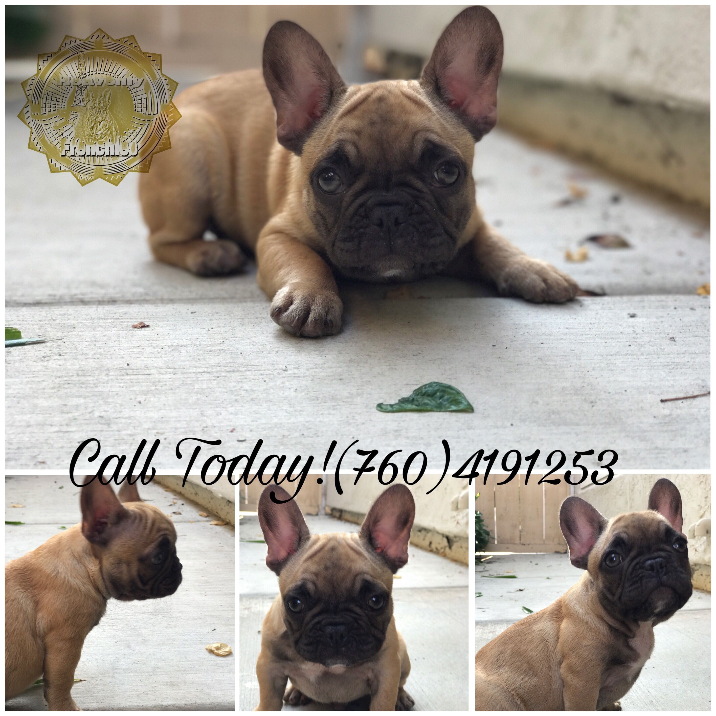 French Bulldog Puppy Blue Fawn Lilac French Bulldogs Lilac