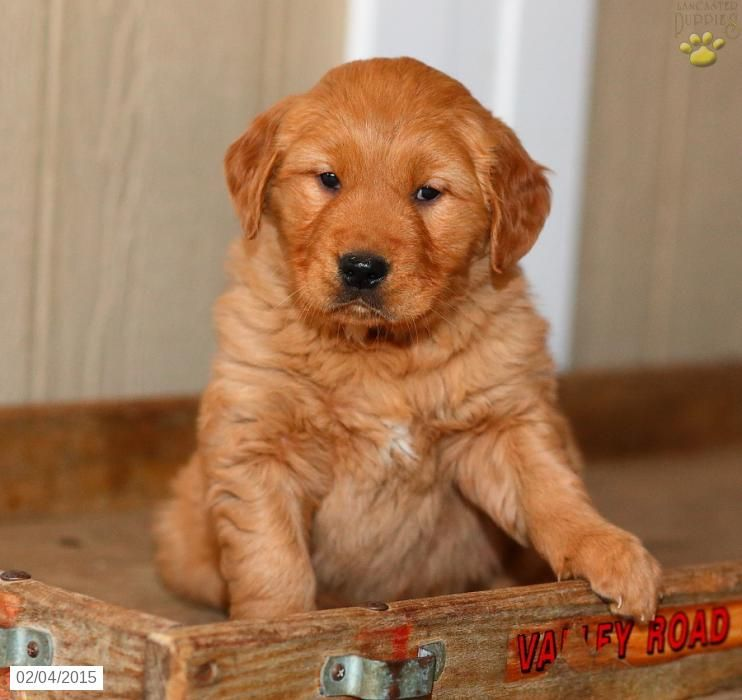 Golden Retriever Puppy for Sale in Pennsylvania Golden
