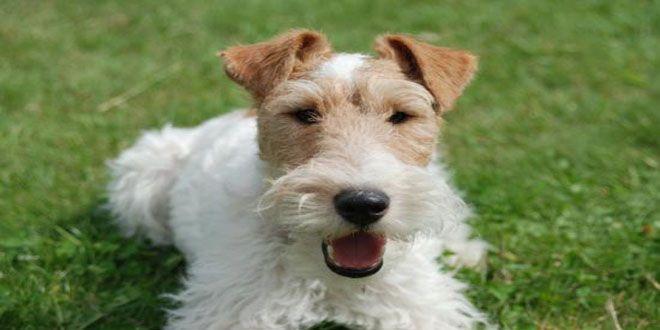 http://sobreperrosygatos.com/razas-perros-terrier/ Razas de Perros Terrier