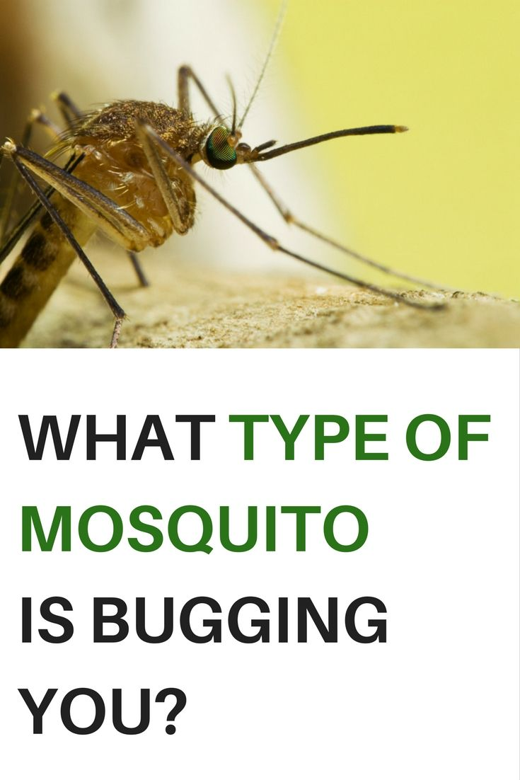 There Are Many Different Types Of Mosquitoes And The Diseases These