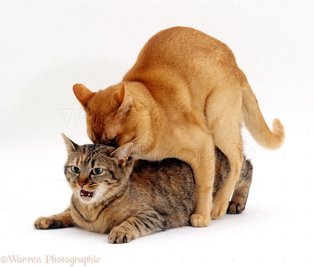 Wp16730 Red Burmese Male Cat Ozzie Mating With Female -1636