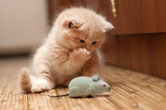 Kitten Playing With Toy Mouse Kittens Cutest Adorable Kittens Funny Cute Cats