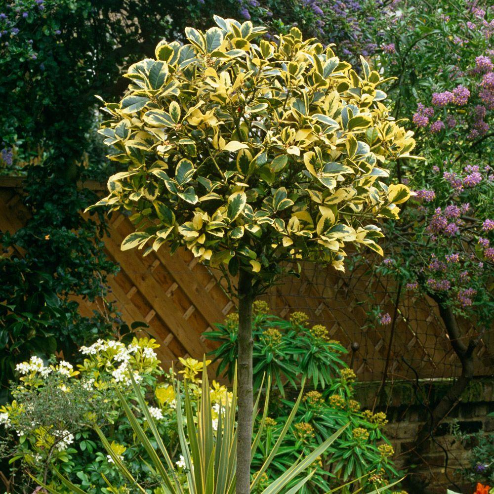Holly ugolden kingu standard tree trees thompson u morgan