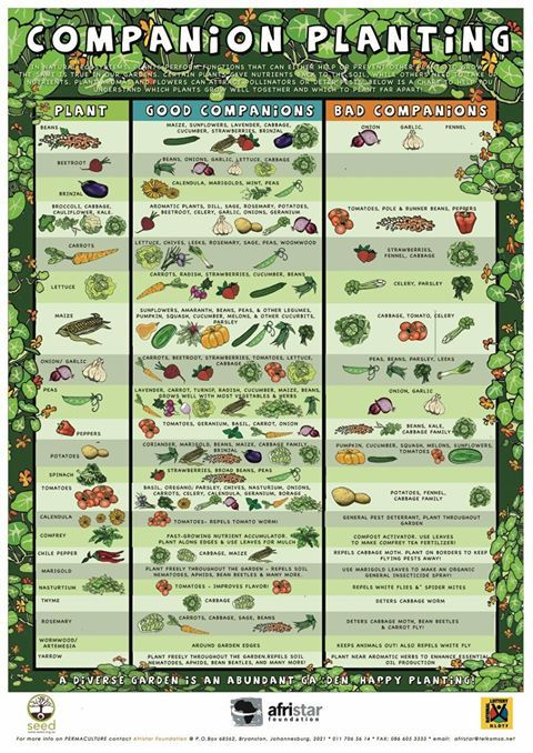 Here's the best companion planting chart we've ever found! Shows you what to plant next to one another and what to avoid putting close to each other in your gardens.