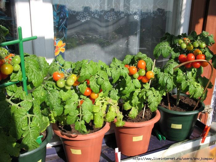 как выращивать помидоры на огороде уход