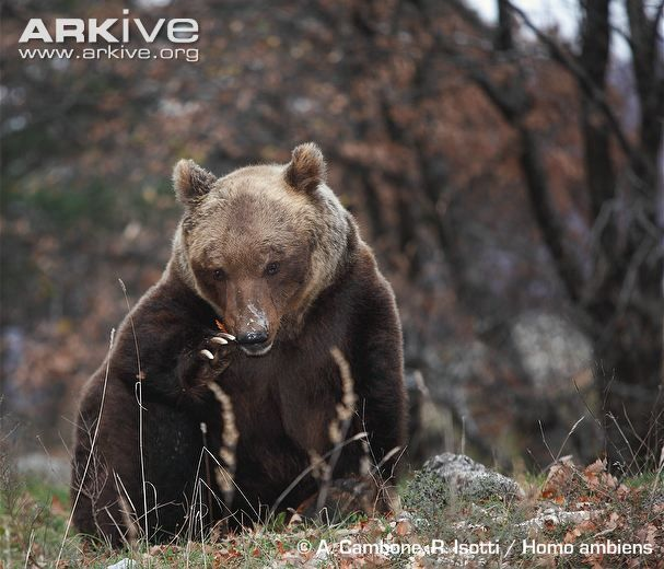 front profile of apennine brown bear all breeds of bears