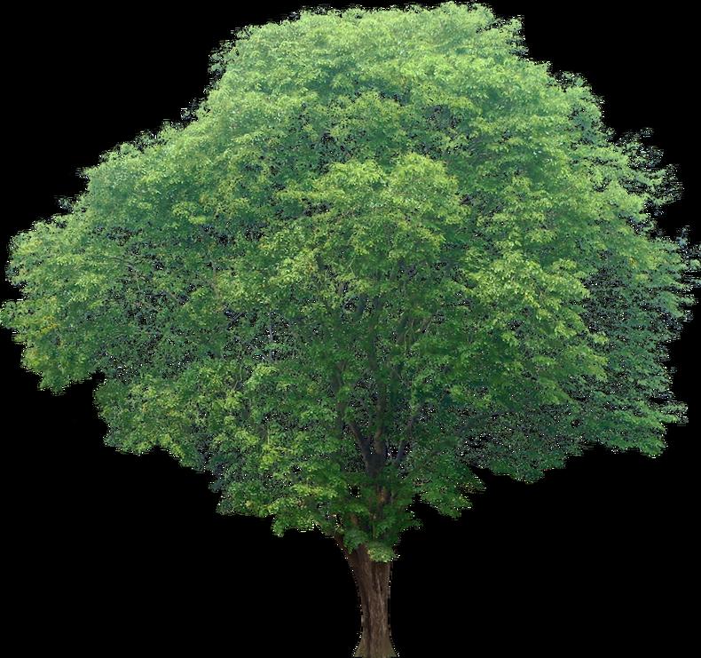 20 Free Tree Png Images Pterocarpus02l Diseno De Paisaje Arbustos Arboles Y Arbustos