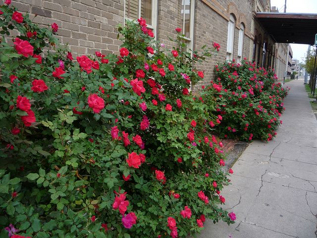 Knock Out Rose Austin Texas Trees To Plant Easy Garden Autumn Garden