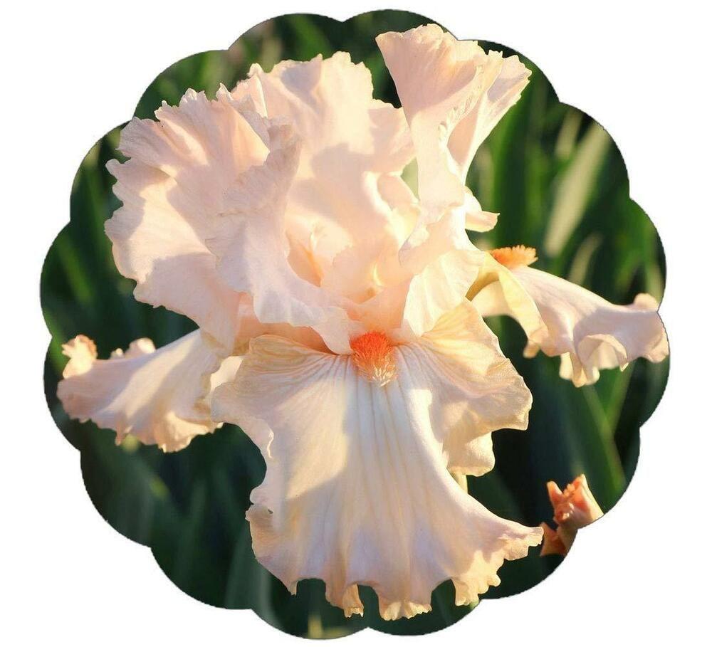 2 Bearded Iris Roots Impressive Flower Bonsai Wonderful Gift Home Balcony Decor