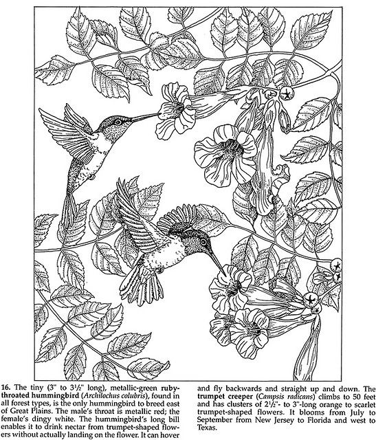 Dover Coloring Book Pages | Forest Animals Coloring Book   Ruby Throated  Hummingbird   Trumpet .