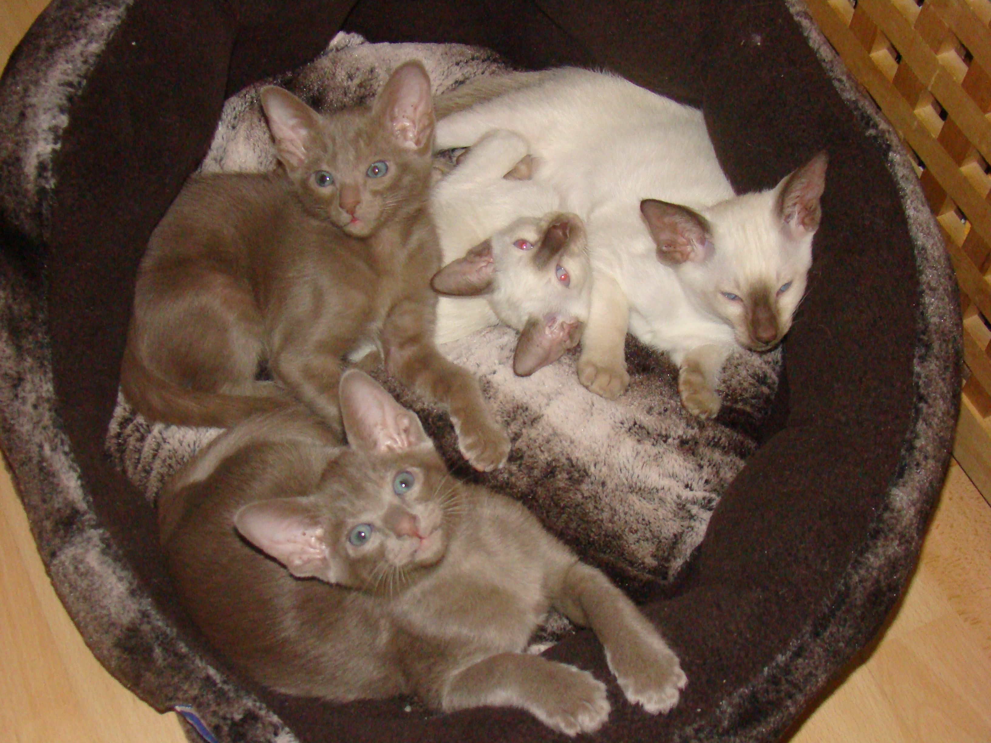 Chocolate Point Siamese Oriental Lilac Kittens Pretty Cats Cats And Kittens Siamese Cats