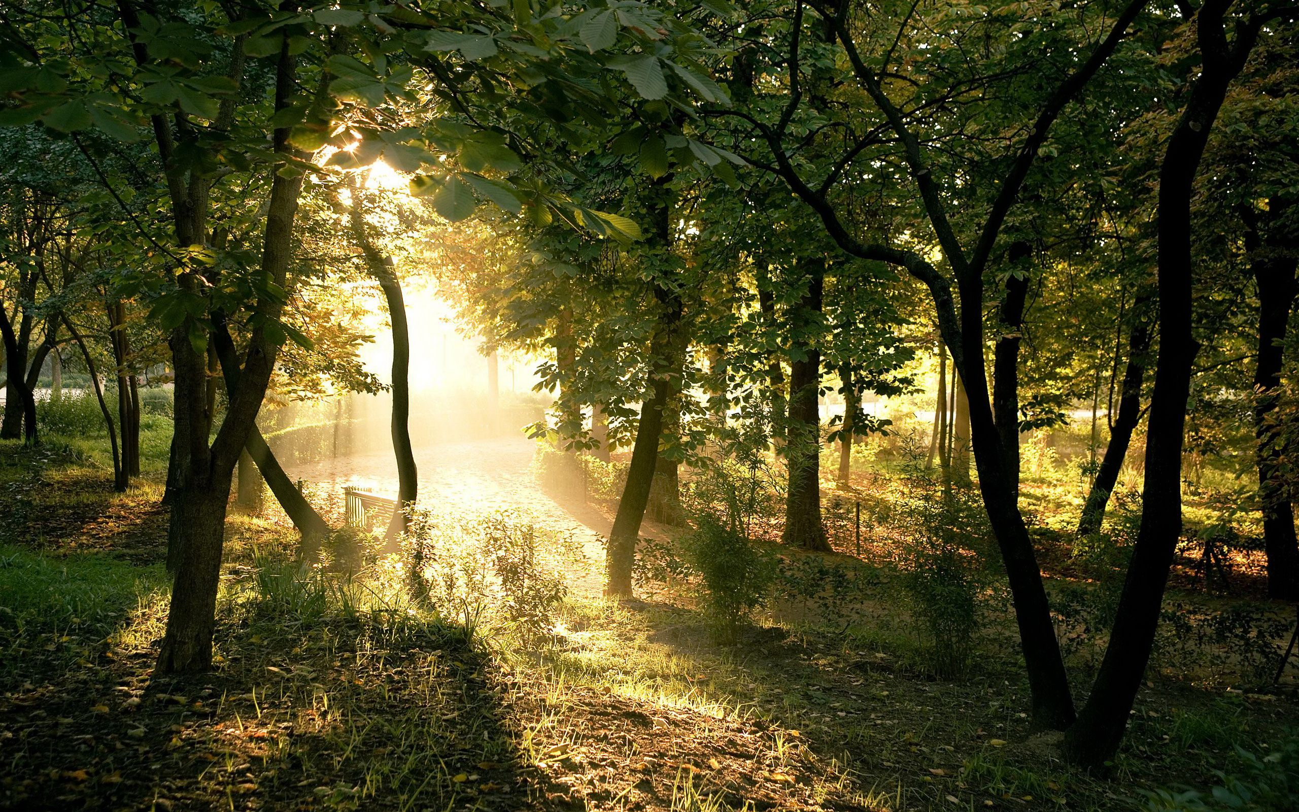 Summer Forest Beautiful Sun Rays And Trees Forest Wallpaper Tree Forest Tree Wallpaper Beautiful landscape tree plants sun rays