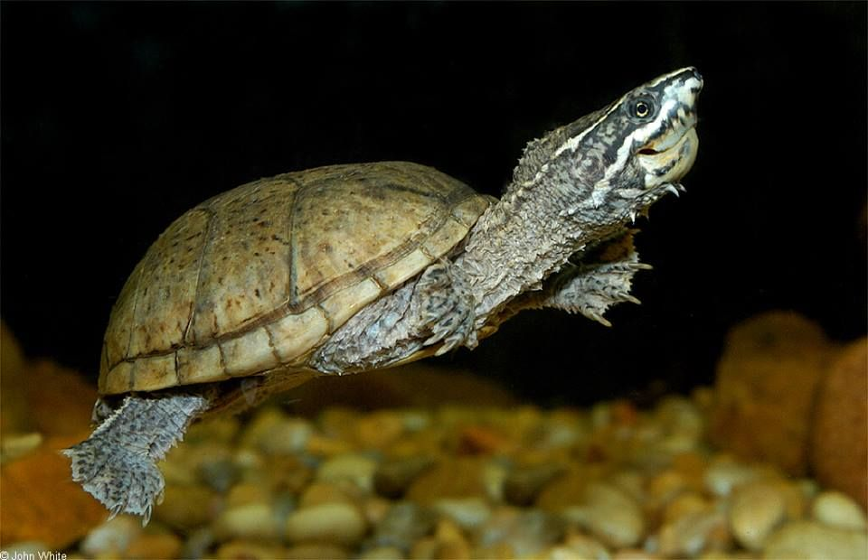 Common Musk Turtle (Sternotherus odaratus)