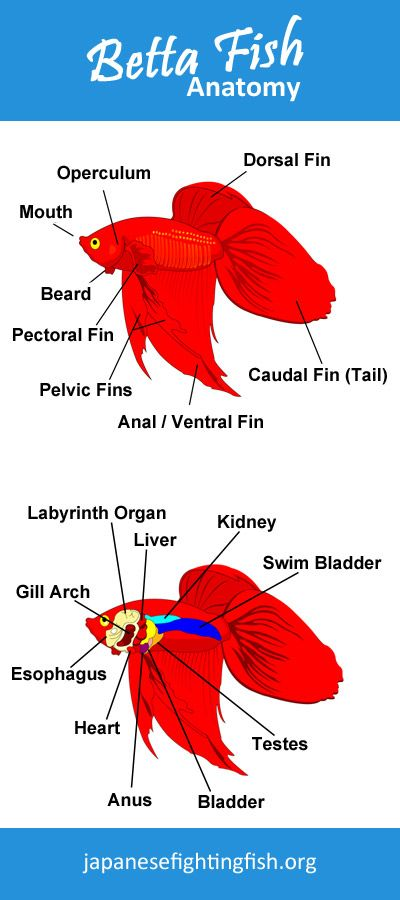 Betta Fish Anatomy - inside and out | Fish! | Pinterest | Fish ...
