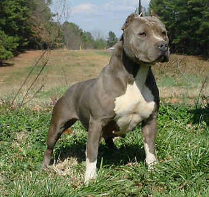 Pin By Johnny Handsome On Animal Kingdom Pitbull Terrier American Pitbull Terrier Pitbulls